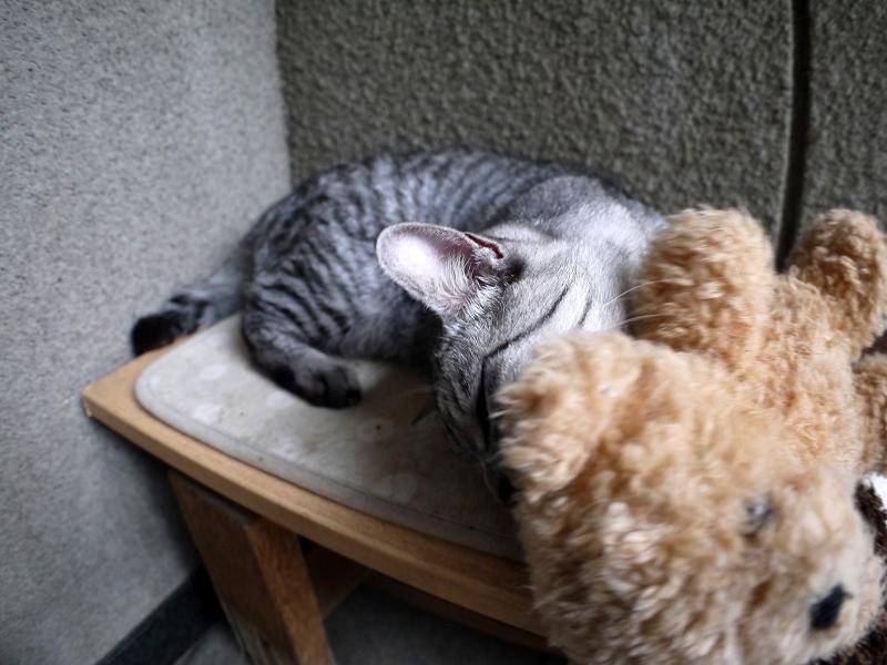 ぬいぐるみとサバトラ猫3