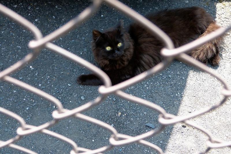 金網フェンスの気長の黒猫1