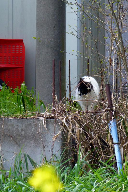 遠くの草むらの白黒猫1
