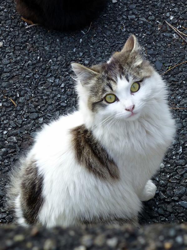 見上げるキジ白猫