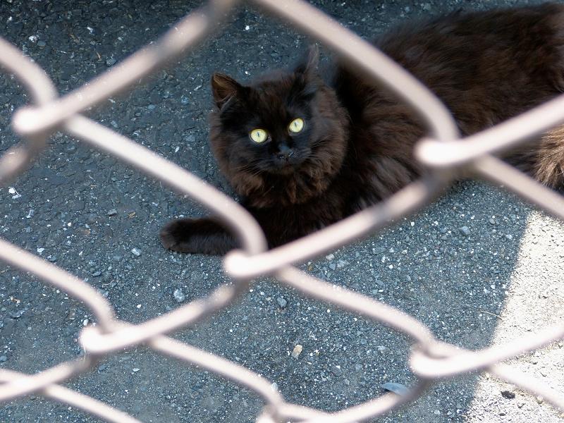 金網フェンスの気長の黒猫2
