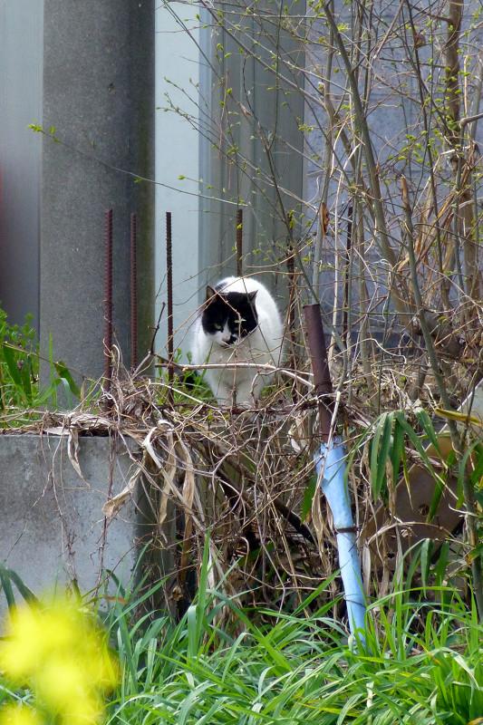 遠くの草むらの白黒猫2