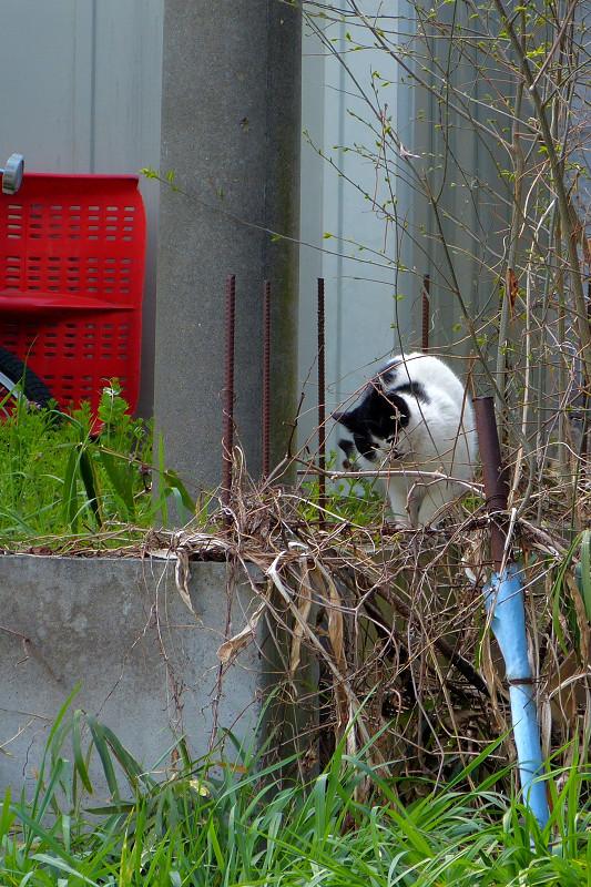 遠くの草むらの白黒猫3