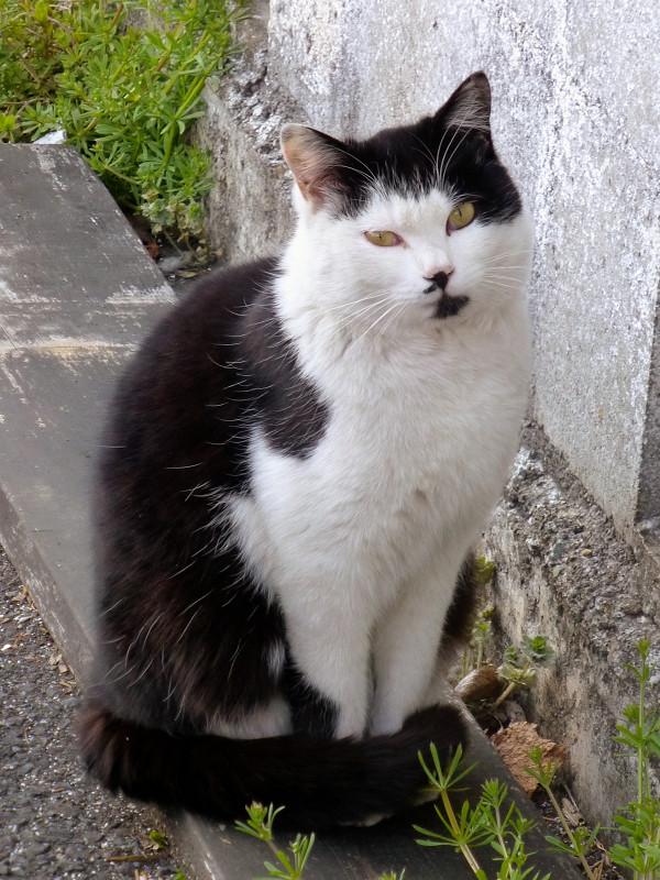 見ている黒白猫