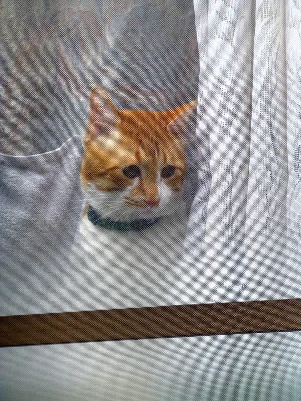 窓ガラス越しの茶白猫1