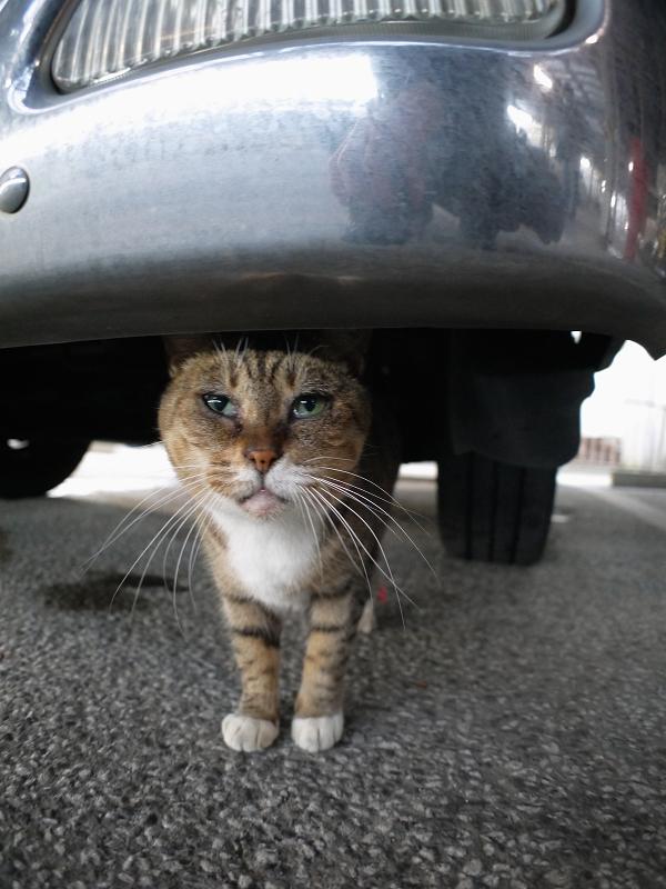 車のバンパーとキジ白猫1