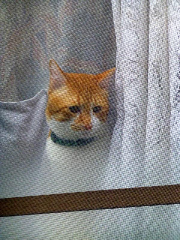 窓ガラス越しの茶白猫2