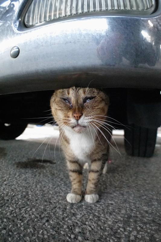 車のバンパーとキジ白猫2