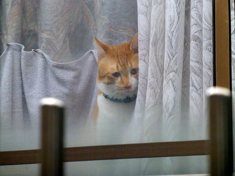 窓ガラス越しの茶白猫3