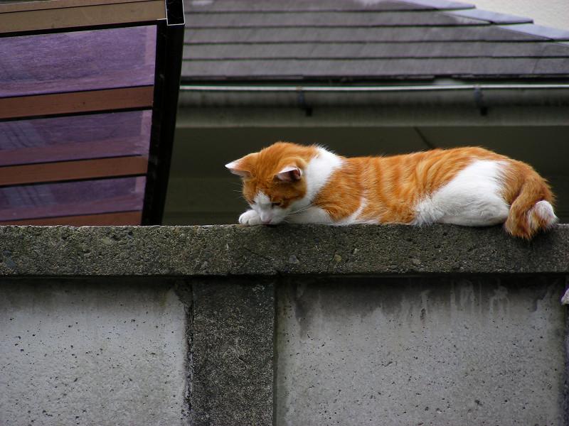 上から見ている茶白猫