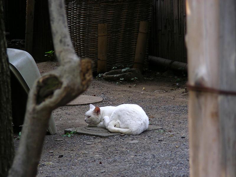 寝ている白猫1