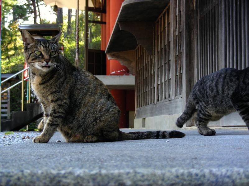 少し興奮のキジトラ系猫1