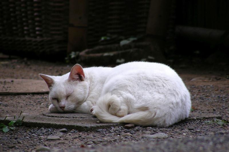 寝ている白猫2