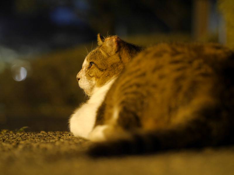 夕暮れの灯りとキジ白猫1