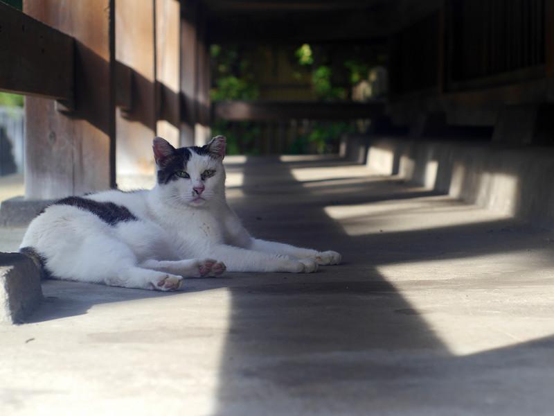 お堂の縁の下で寛ぐ白キジ猫1