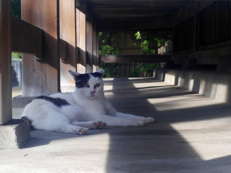 お堂の縁の下で寛ぐ白キジ猫2