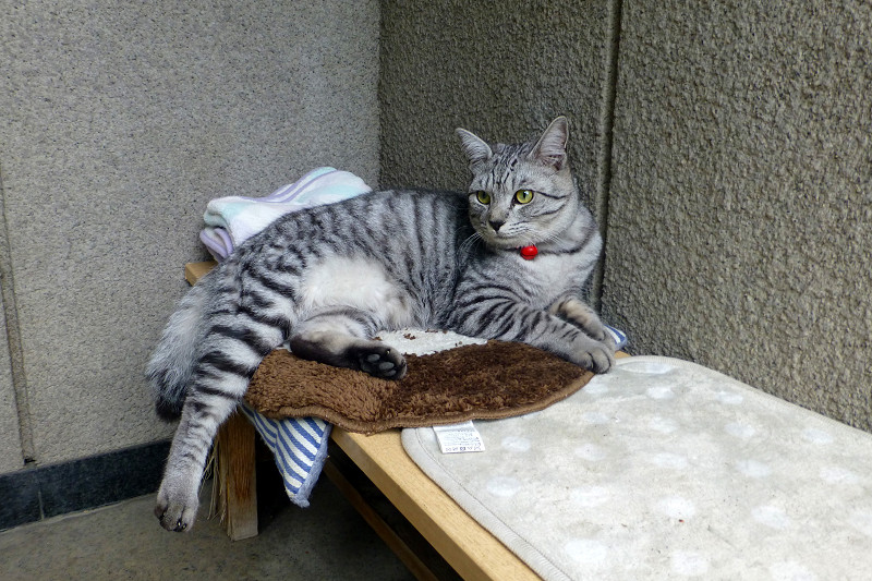 クッションに座るサバトラ猫1
