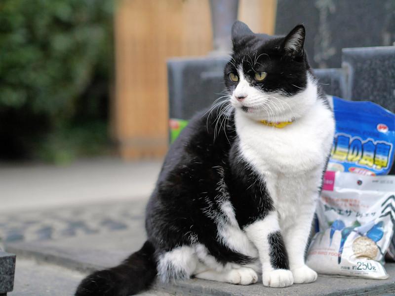 不愉快顔で耳が後ろの黒白猫1