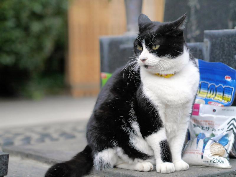 不愉快顔で耳が後ろの黒白猫2