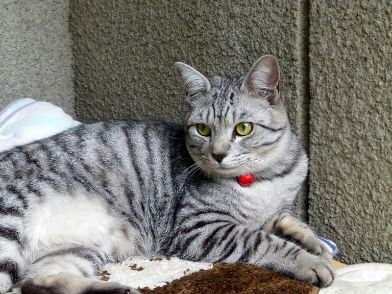 クッションに座るサバトラ猫3
