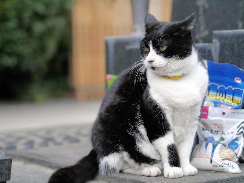 不愉快顔で耳が後ろの黒白猫3