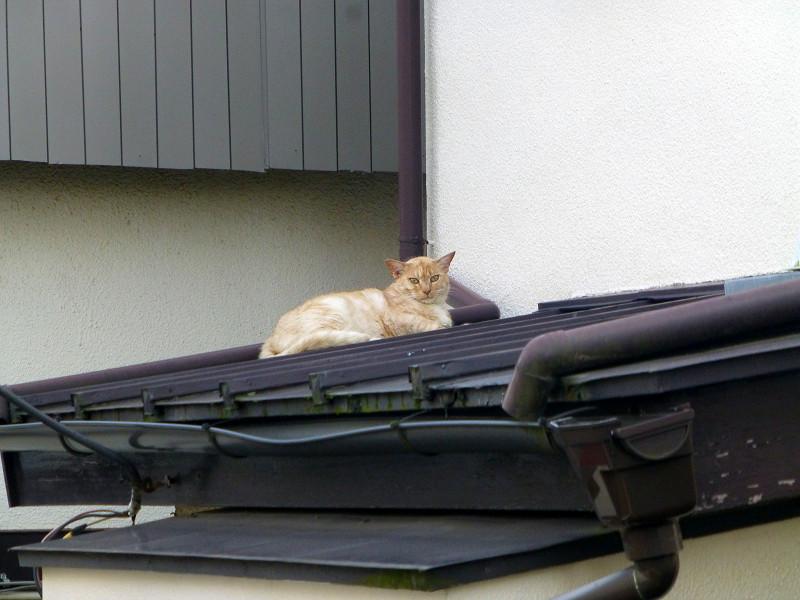 屋根と茶猫1