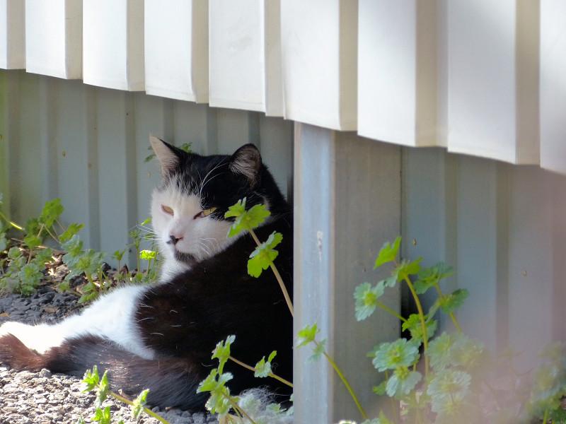 少し振り返る黒白猫
