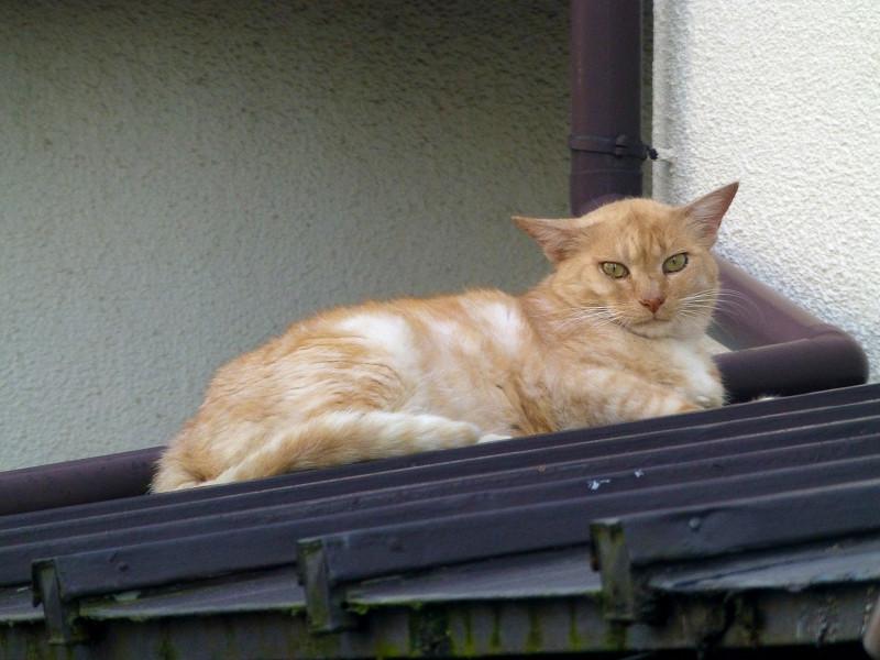 屋根と茶猫2