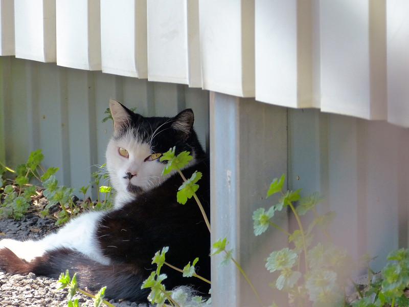 はっきり振り返る黒白猫