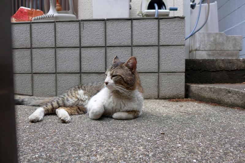 玄関前で寛ぐキジ白猫1