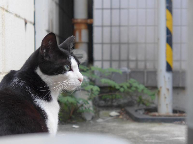 若手黒白猫の表情1