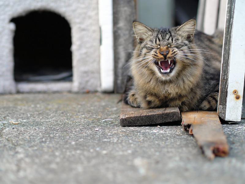 ハウスの横でアクビをする毛長のキジトラ系猫1