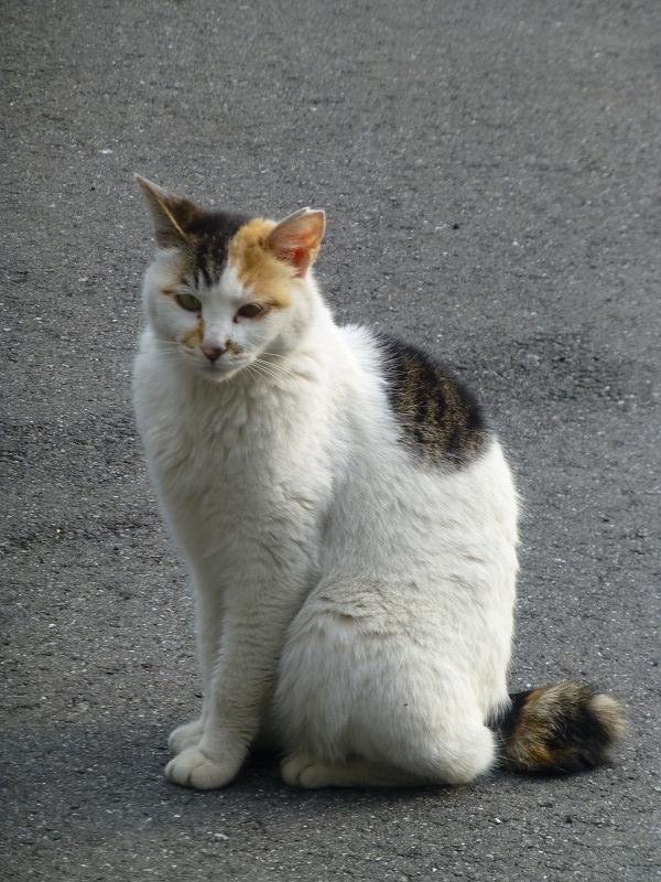 動かない白三毛猫