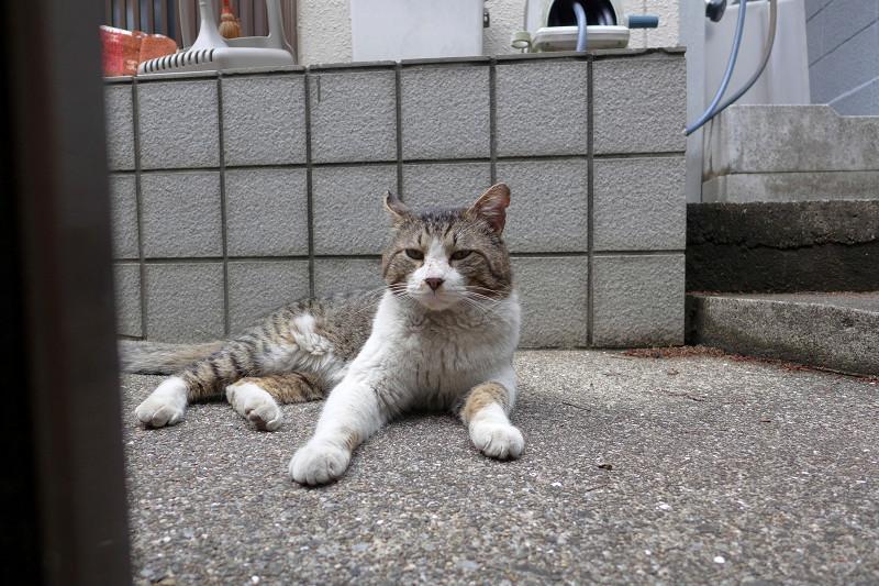 玄関前で寛ぐキジ白猫2