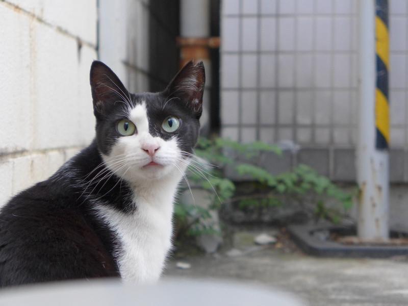 若手黒白猫の表情2