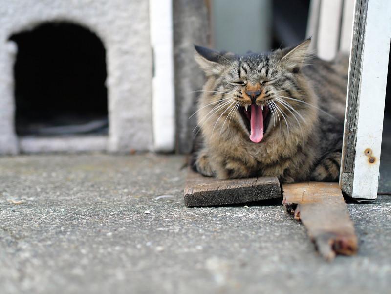 ハウスの横でアクビをする毛長のキジトラ系猫2