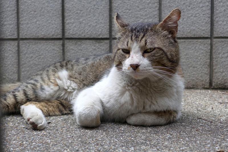 玄関前で寛ぐキジ白猫3