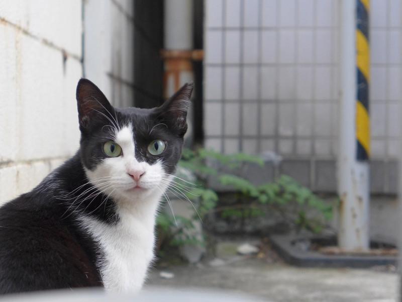 若手黒白猫の表情3