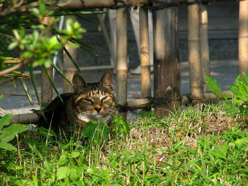 草むら香箱のキジトラ猫1
