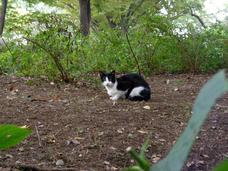 土の上の黒白猫1