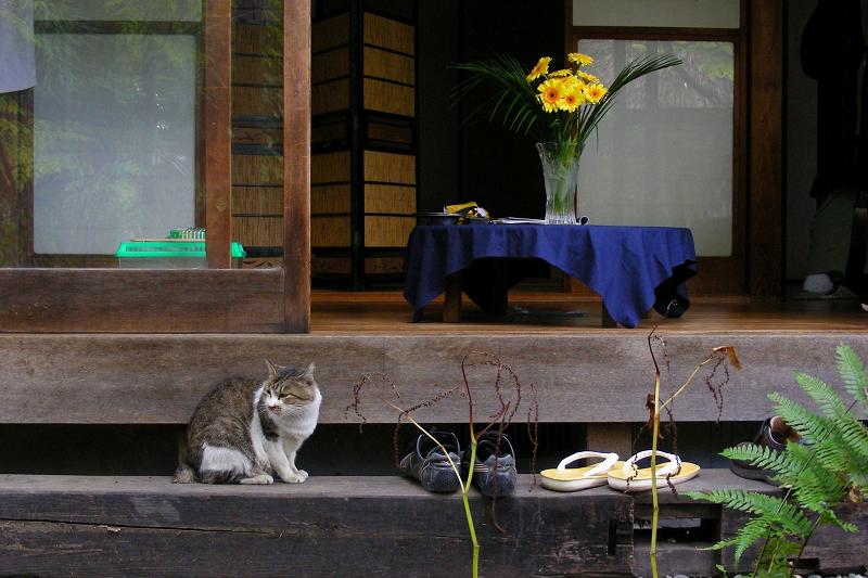 和風な居間が似合うキジ白猫1
