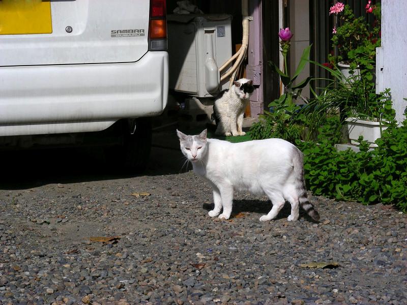 いきなり登場のキジ白猫1