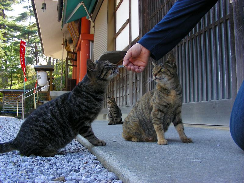 海苔を食べようとする猫たち1