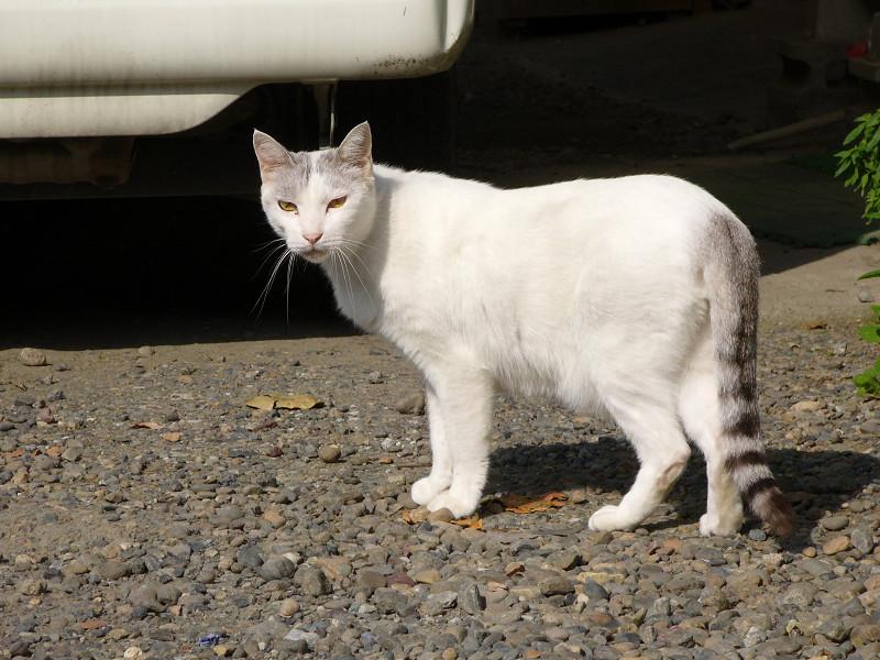 いきなり登場のキジ白猫2