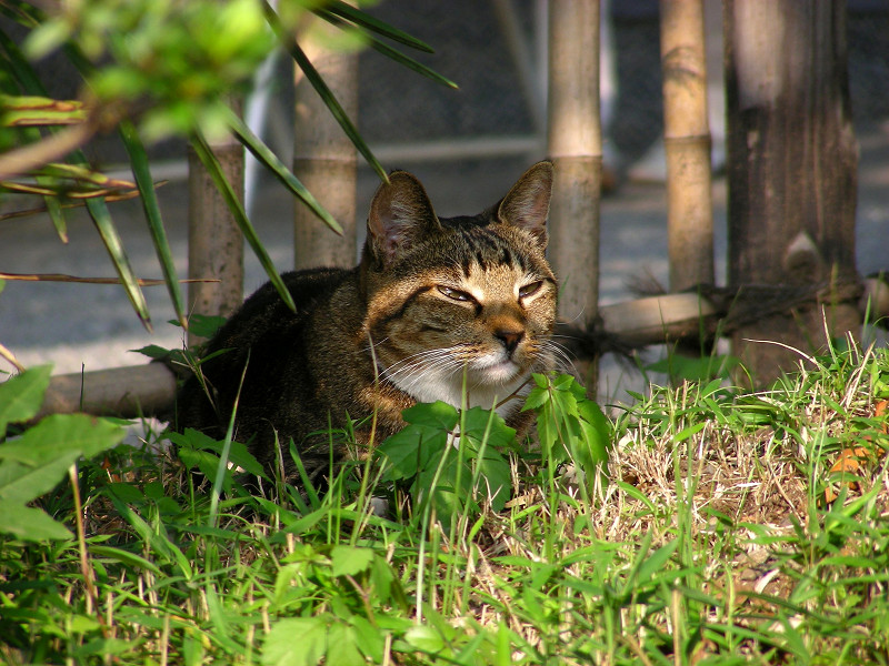 草むら香箱のキジトラ猫2
