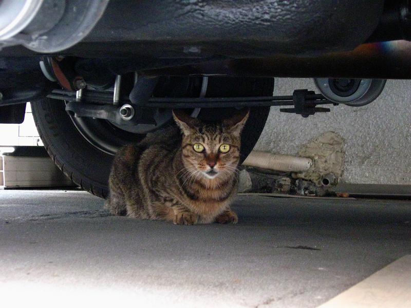 車の下のキジトラ猫2
