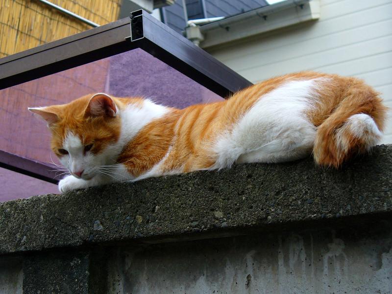 ブロック塀で腹ばう茶白猫2