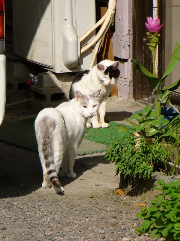 いきなり登場のキジ白猫3