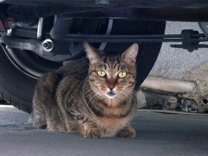 車の下のキジトラ猫3