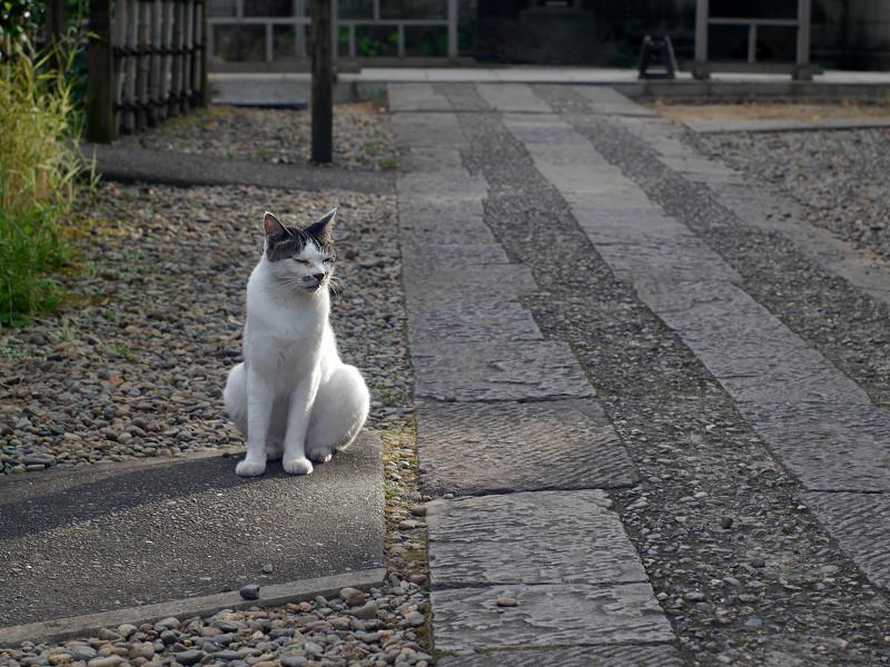 石参道の白キジ猫1